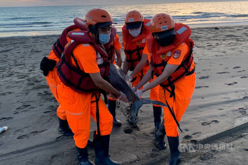 海巡署南部分署第一一岸巡隊9日下午台南市將軍區生態公園沙灘發現一隻死亡鯨豚,合力將鯨豚搬運到岸邊。(第一一岸巡隊提供)中央社記者楊思瑞台南傳真 110年5月10日