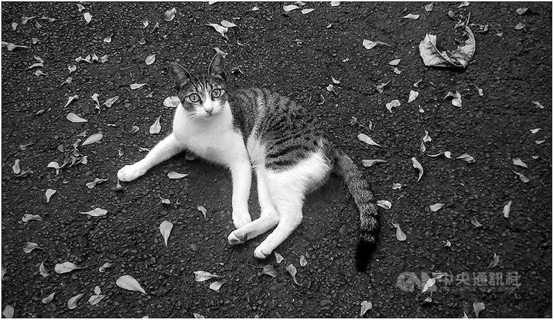 策展人、藝評家謝佩霓是罕症病友,新書「貓非貓」提及她到非洲擔任志工、陪伴罕病兒的心路歷程,是她少見在藝評及學術報告之外的感性書寫。圖為謝佩霓所拍攝的貓。(謝佩霓提供)中央社記者邱祖胤傳真 110年5月10日