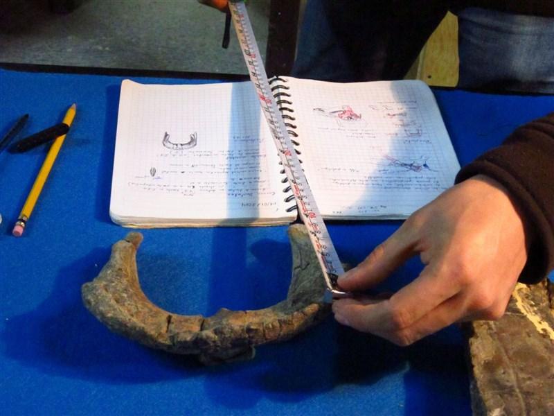 墨西哥國家人類學與歷史研究所的古生物學家在研究一種恐龍的新物種,這頭龍估計死於約7200萬年前。(路透社)