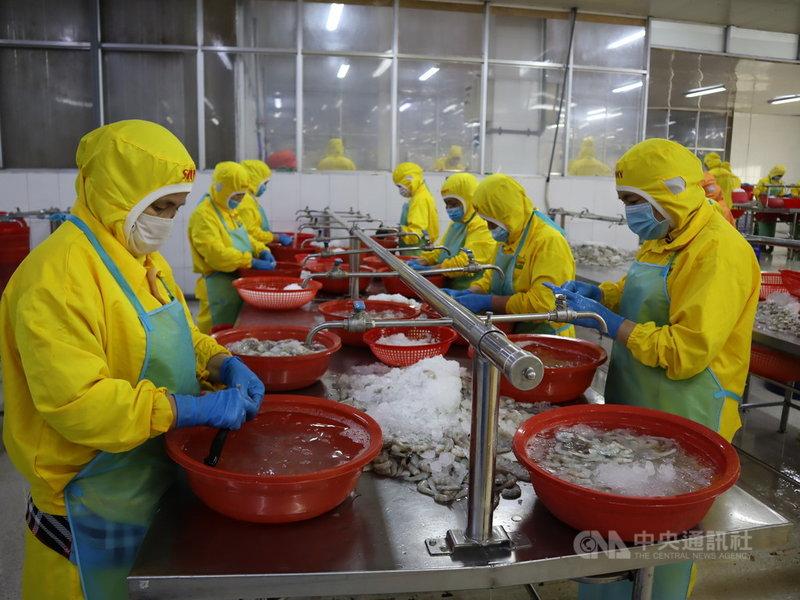 受氣候變遷影響,越南湄公河三角洲的農民紛紛轉為養蝦,並吸引外商到此投資,掀起一股養蝦潮。圖為越南隆安省一家工廠內的剝蝦工人。中央社記者陳家倫隆安省攝  110年5月25日