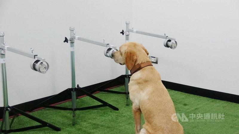泰國朱拉隆功大學訓練拉布拉多犬利用靈敏的嗅覺,分辨出誰是武漢肺炎的潛在患者。圖為犬隻聞到陽性樣本就會坐下,正確率高達95%。中央社記者呂欣憓曼谷攝  110年5月27日