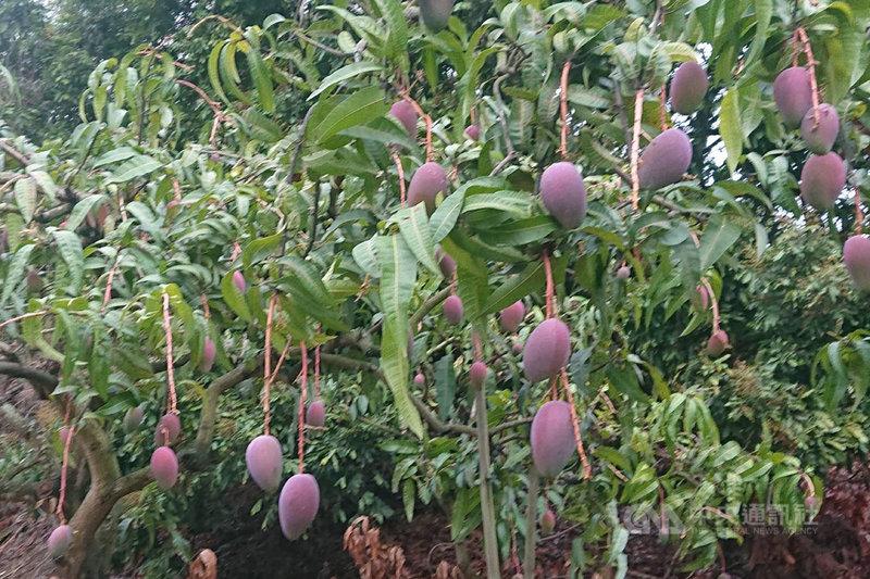 台南山區栽種的芒果即將進入產季,許多地方可見結實纍纍的果樹。中央社記者楊思瑞攝  110年6月2日