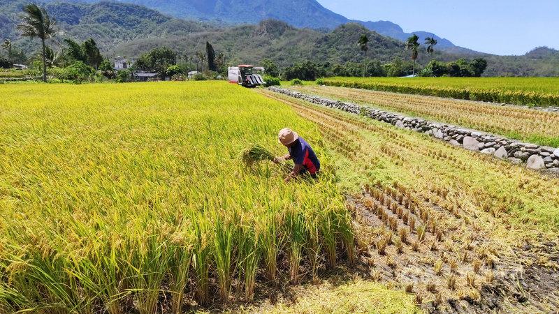 颱風彩雲逼近,台東區農業改良場4日呼籲農民,加強田間管理,並提供稻、果樹等作物管理措施供參考,減少農損。中央社記者盧太城台東攝  110年6月4日