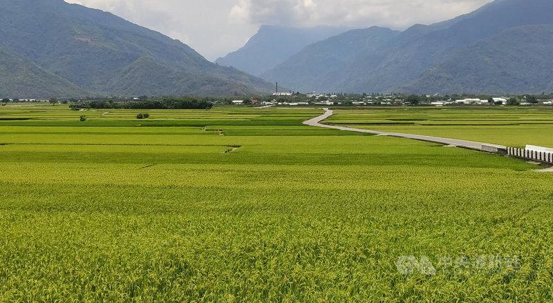 颱風彩雲逼近,台東農民盼能帶來雨量,讓7月插秧的二期稻不缺水,但又擔心豪雨導致將收割的一期稻倒伏,農民考慮要不要搶收水稻。圖為即將收割的池上稻田。中央社記者盧太城台東攝 110年6月4日