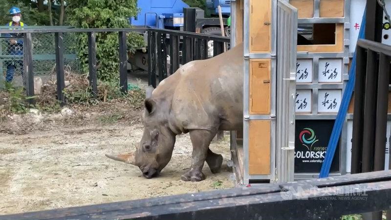 六福村動物園犀牛妹艾瑪遠嫁日本,抵達日本後就像個好奇寶寶,探索新環境。(六福旅遊集團提供)中央社 110年6月10日