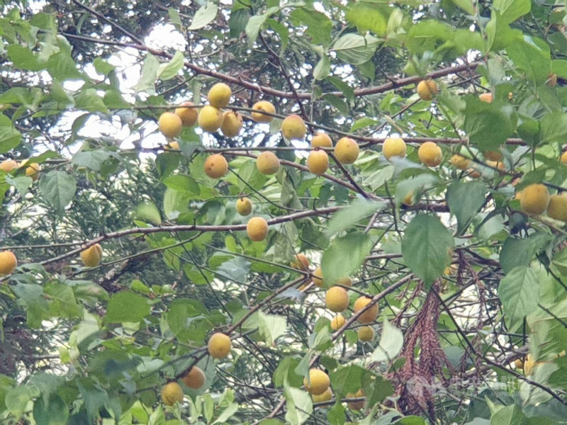 近期梅雨鋒面帶來及時雨,為武陵農場生態帶來幾分新氣象,農場內梅子也逐漸成熟轉黃。(武陵農場提供)中央社記者郝雪卿傳真 110年6月11日