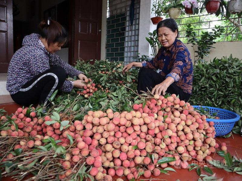 越南海陽省果農黎氏貴(右)說,荔枝大豐收,因此價格不理想。2020年荔枝價格一公斤4萬越南盾(新台幣約48元),如今下殺到1萬。中央社記者陳家倫海陽省攝  110年6月11日