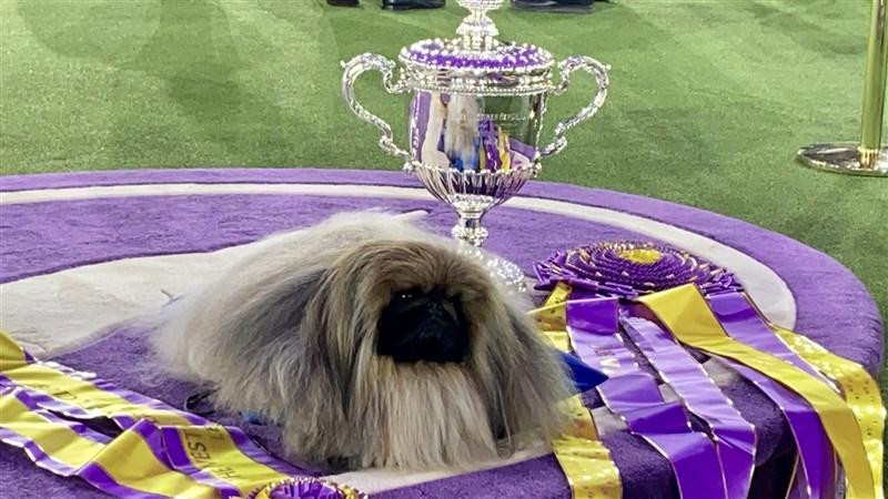 北京狗「山葵」13日在美國紐約州泰瑞鎮西敏犬展拿下「全場總冠軍」。(圖取自twitter.com/WKCDOGS)
