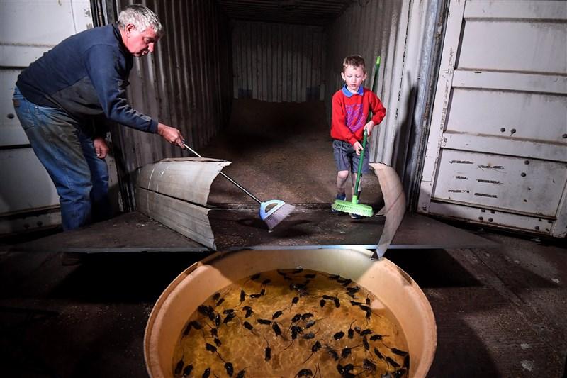 澳洲東部農民汀克(左)用掃帚把數百隻老鼠趕向臨時設置的陷阱,其實是讓牠們淹死在一個大水盆中,有點殘忍,但他不得不設法減緩鼠害。(法新社)