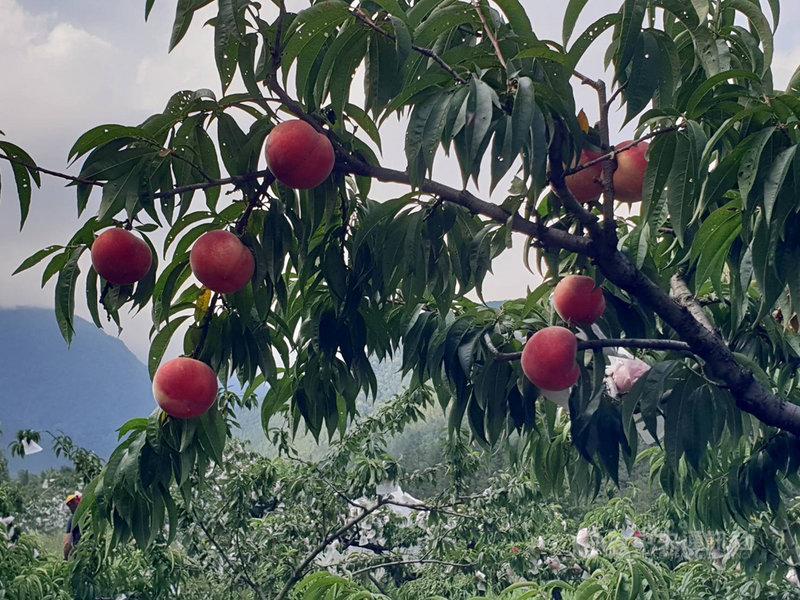 武陵農場的水蜜桃已經成熟了,果樹上處處可見鮮豔的水蜜桃高掛樹上等著採收。(武陵農場提供)中央社記者郝雪卿傳真 110年6月23日