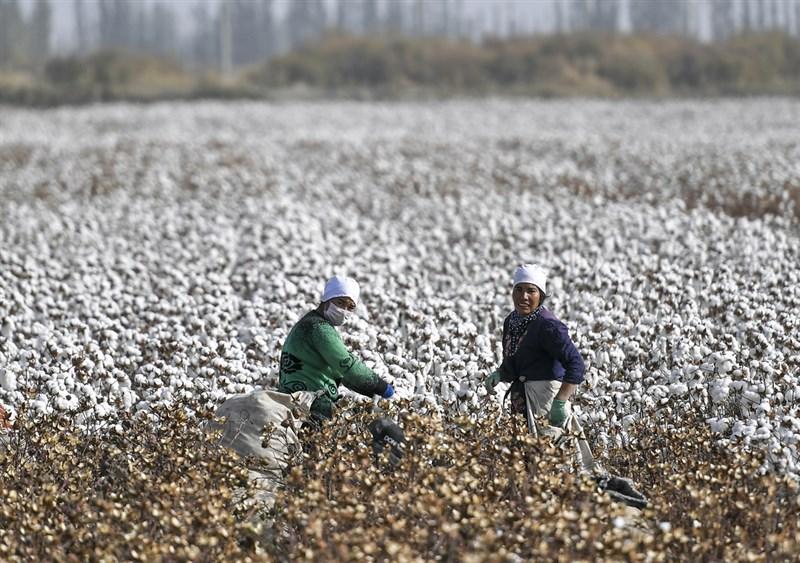 白宮24日表示,美國正採取行動以抵制新疆強迫勞動行為。圖為新疆棉農在摘採棉花。(中新社)