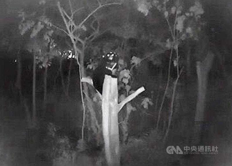 2020年12月間在台東縣海端鄉崁頂山區落入套索陷阱的台灣黑熊,截肢傷口和骨折處的骨骼癒合情形良好,恢復爬樹能力,經常爬上高處遙望遠方。(屏科大保育類野生動物收容中心提供)中央社記者盧太城台東傳真 110年6月25日