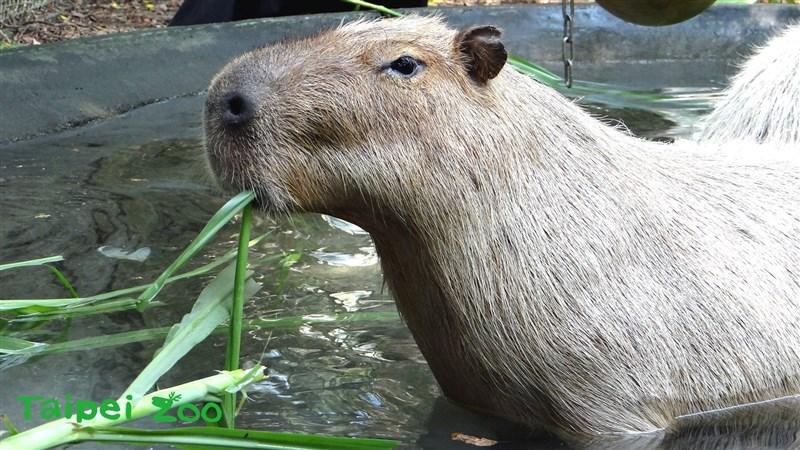 台北市立動物園也推出了沒「人」氣動物園特別企劃,讓遊客近距離觀賞水豚。(圖取自台北市立動物園網頁zoo.gov.taipei)
