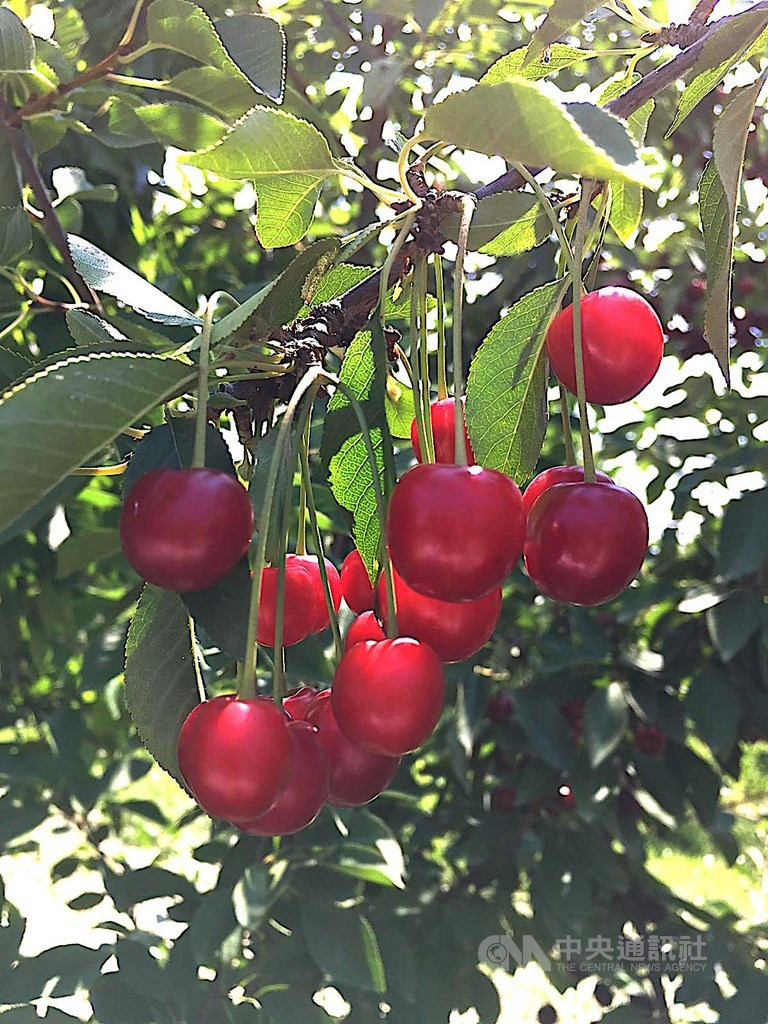 土耳其是櫻桃生產大國,櫻桃外匯收入約1/4來自西部小鎮蘇坦達(Sultandagi)。今夏台灣核准土耳其櫻桃輸入,將成為土耳其外銷台灣的第一項農產品。(中央社檔案照片)