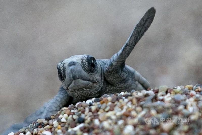 安塔利亞省契拉勒海灘上一隻幼龜經孵化後破殼離巢。這處海灘是土耳其地中海岸的赤蠵龜產卵棲地之一。(契拉勒海岸保護委員會提供)中央社記者何宏儒安塔利亞傳真 110年7月11日