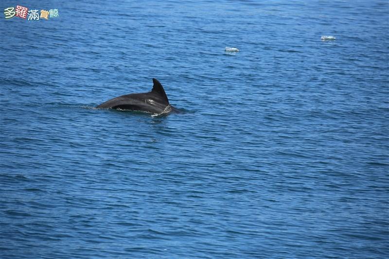 賞鯨業者19日發現花蓮港內出現1隻瓶鼻海豚,業者表示,鯨豚單獨誤闖很少見,有可能是健康狀態不良導致迷蹤,或因追逐食物誤闖,所幸20日上午已不見瓶鼻海豚蹤影,推測已順利出海。(賞鯨業者提供)中央社記者張祈傳真 110年7月20日
