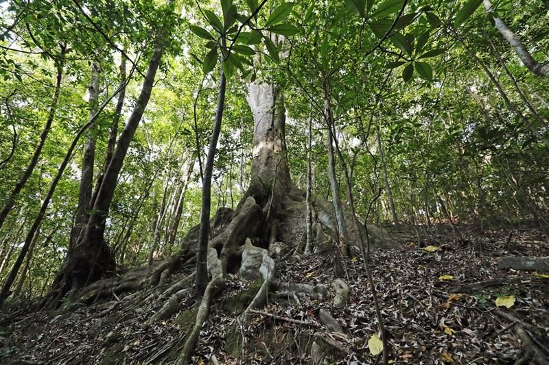 聯合國教科文組織(UNESCO)世界遺產委員會26日開會決定日本的「奄美大島、德之島、沖繩島北部與西表島」登記為世界自然遺產。圖為奄美大島的金櫻園國立森林。(共同社)