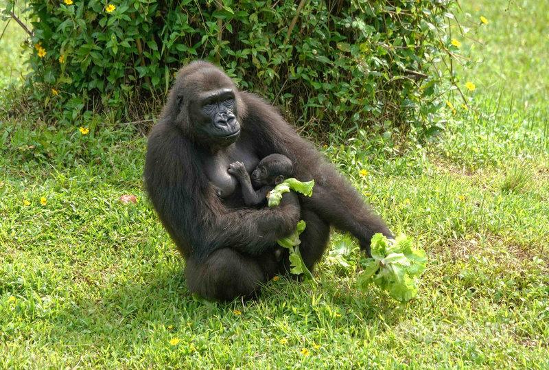 台北市立動物園27日表示,金剛猩猩「迪亞哥」與Iriki產下的雄性寶寶即將滿2個月大,名字經網友票選後決定為Ringo。(台北市立動物園提供)中央社記者陳昱婷傳真 110年7月27日