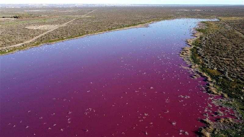阿根廷南部巴塔哥尼亞地區的寇爾孚潟湖上週開始呈現粉紅色。環保人士表示,這種粉紅色是由漁獲加工廠用來抗菌防腐的化學品亞硫酸鈉造成。(法新社)