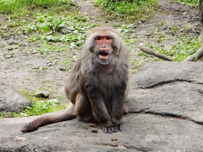 台北市立動物園2日表示,擔任「核心雄猴」將近20年的台灣獼猴「榮哥」在7月下旬突然無法自主生活,經檢查仍無法找出病因,園方與各方討論後,決定透過人道處理的方式,讓「榮哥」安詳離開。(台北市立動物園提供)中央社記者陳昱婷傳真 110年8月2日