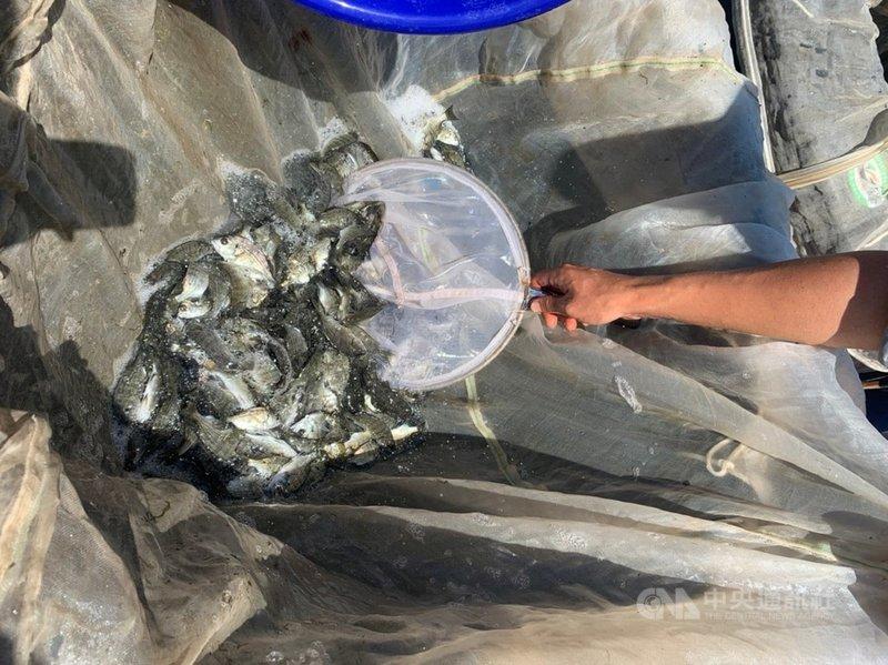 金門縣金寧鄉公所人員3日在后湖海邊放流黑棘鯛魚苗,並呼籲漁民及釣客在捕獲黑棘鯛時,請配合將體長不到15公分的小型個體放回大海繼續生長,維護漁業資源永續發展。(金寧鄉公所提供)中央社記者黃慧敏傳真 110年8月3日