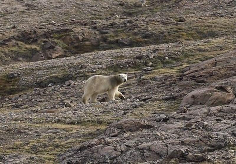 丹麥北極軍事單位在格陵蘭的駐軍表示,2日清晨,一頭北極熊晃蕩到距離達訥堡基地約400公尺的研究站。(圖取自facebook.com/JointArcticCommand)