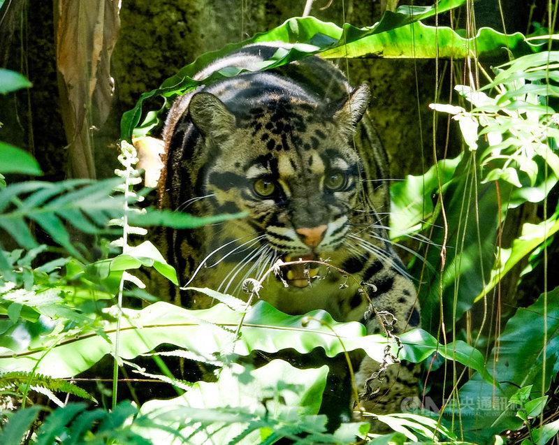 台北市立動物園指出,8月4日為國際雲豹日(International Clouded Leopard Day),台灣雲豹在2013年被宣布滅絕,園內7歲又2個月的Suki為2016年底由德國烏帕塔(Wuppertal)動物園引進的雌性個體。(台北市立動物園提供)中央社記者陳怡璇傳真  110年8月4日