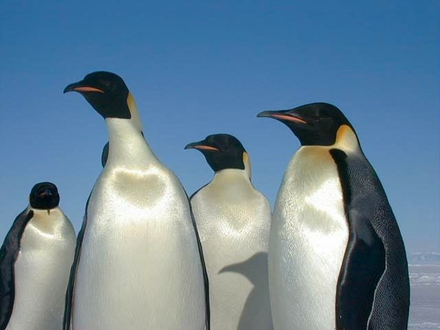根據最新研究,隨著全球暖化、海冰融化消退,南極的皇帝企鵝恐將在2100年以前瀕臨滅絕。(圖取自維基共享資源網頁,版權屬公有領域)