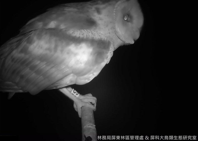 屏東林管處與屏東科技大學鳥類生態研究室合作,在屏東豎立的多處棲架,不僅記錄到不少草鴞,還發現戴著腳環新朋友造訪,原來是幼雛繫放後長大回來,令人驚喜。(林務局提供)中央社記者楊淑閔傳真 110年8月6日