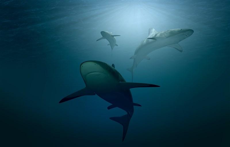 國際自然保育聯盟警告,專家評估的1200種鯊魚和魟魚物種裡,約有37%直接面臨滅絕的威脅,比7年前多出1/3。(圖取自Pixabay圖庫)