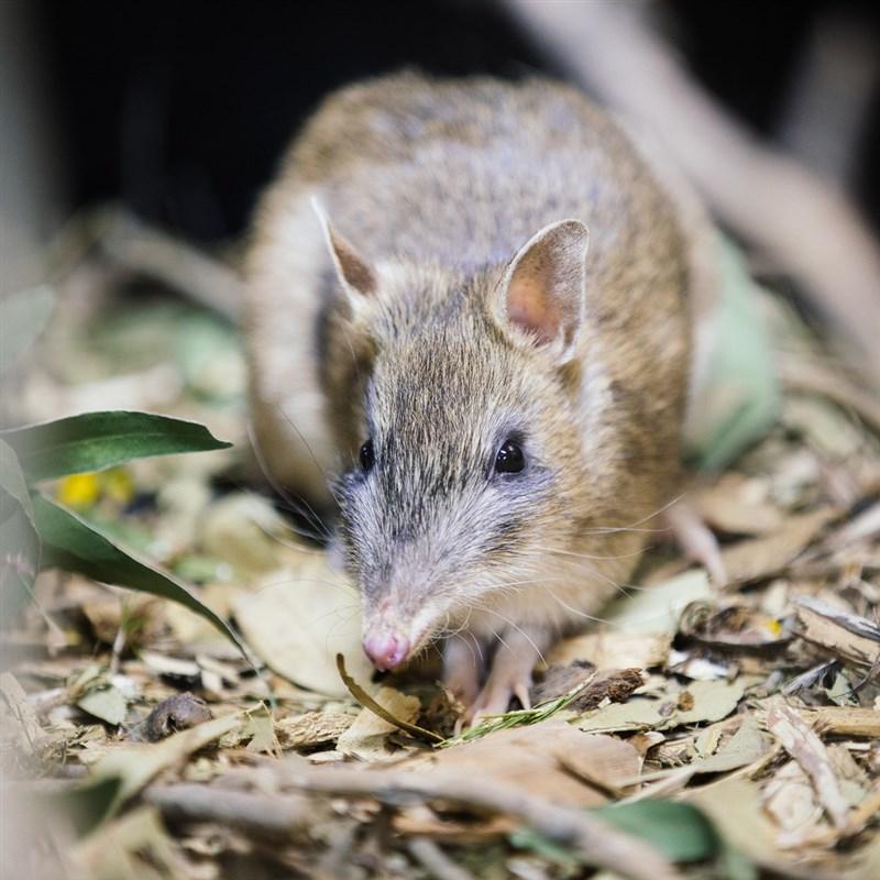 加氏袋狸(圖)過去棲息於澳洲維多利亞州西南部的草原,直到牠們遭非原生狐狸、野貓威脅和棲息地破壞而幾乎滅絕。(圖取自twitter.com/ZoosVictoria)
