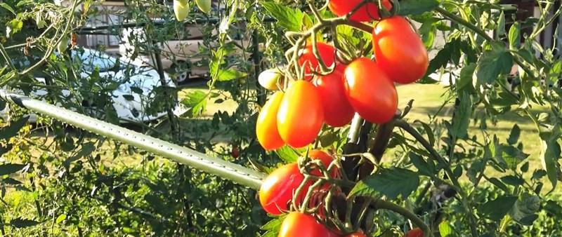 日本利用基因編輯改良的富含降血壓成分小番茄上市,這是日本國內第一個上市基因編輯食品。(圖取自sanatech-seed.com)