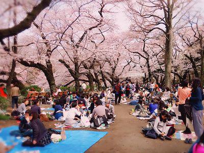 日本櫻花季登場