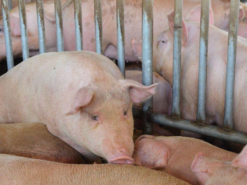 廚餘養豬場轉型大限到