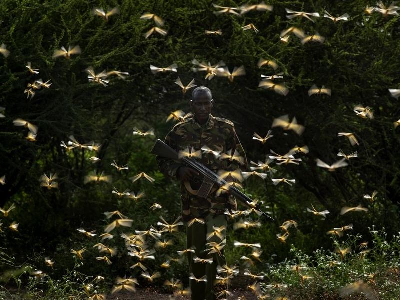 東非蝗蟲肆虐