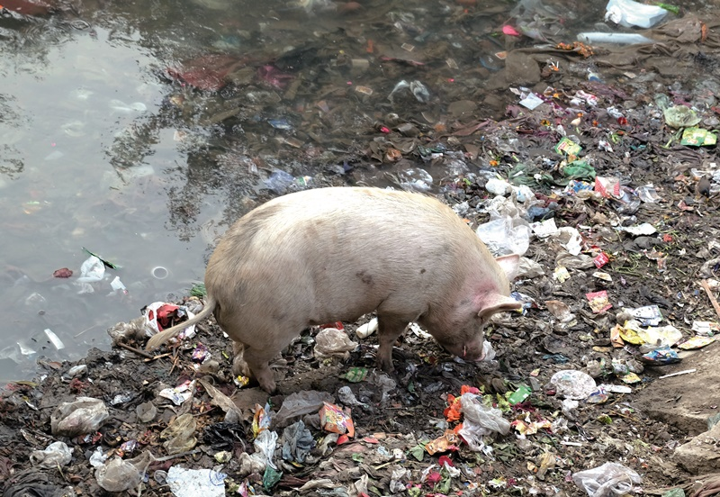 德里一條河道岸邊堆滿垃圾,吸引野豬覓食。(中央社康世人)