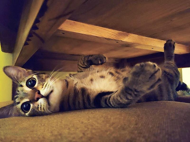 心理學界研究指出,貓咪有圓圓大大的眼睛、飽滿的雙頰等特徵,跟人類的新生兒有神似之處,會喚起母愛。(受訪者高小姐提供)
