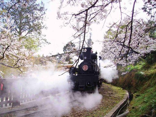 阿里山櫻花樹下的31號蒸汽火車
