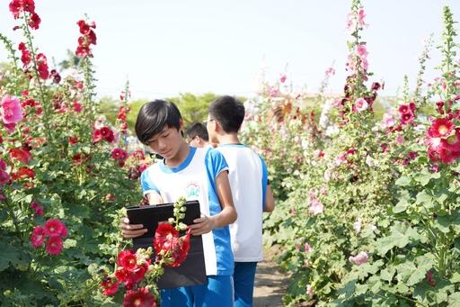 學生使用平板拍攝學甲的蜀葵花