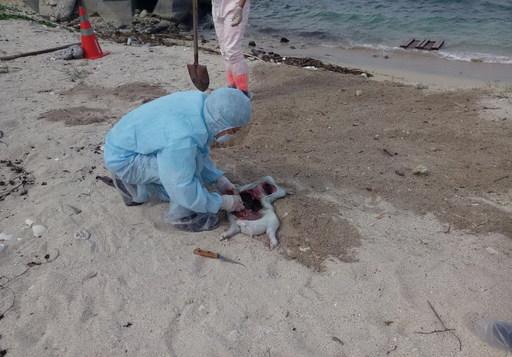 小琉球海岸發現豬屍-非洲豬瘟防疫不能停1