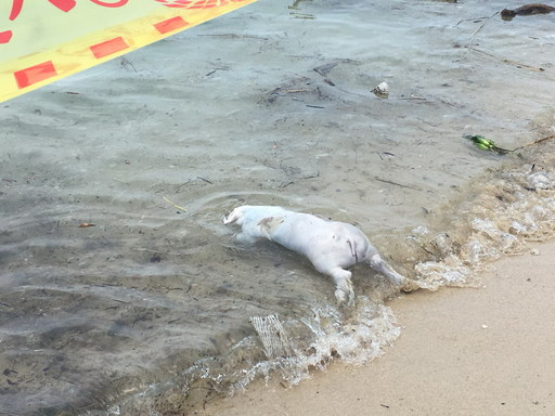 小琉球海岸發現豬屍-非洲豬瘟防疫不能停2