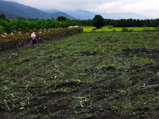 預防秋行軍蟲及蟲害 臺東縣府依空汙法將暫時同意農民燃燒稻草