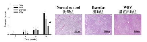 長庚大學崔博翔教授在動物研究中發現,垂直律動組的脂肪肝有顯著改善。