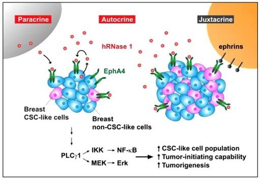 乳癌腫瘤精準治療的生物標記。