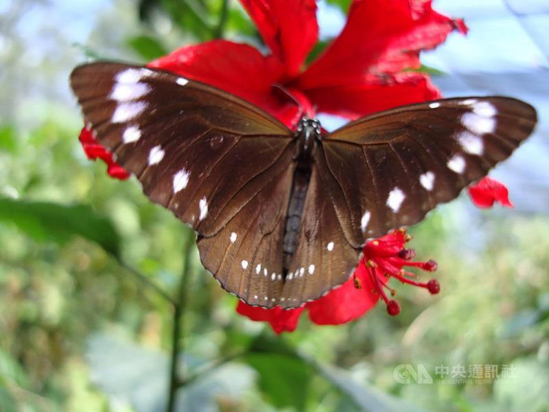 雲林縣林內鄉長張維崢表示,今年受暖冬影響,台灣紫斑蝶提前北返。由於過去幾天下雨,26日天氣終於轉晴,群蝶奮力群飛,成為生態奇觀。(資料照片)中央社記者葉子綱攝