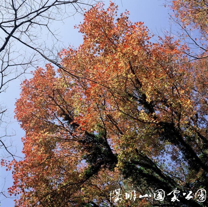 陽明山國家公園楓香。(圖取自陽明山國家公園網頁ymsnp.gov.tw)