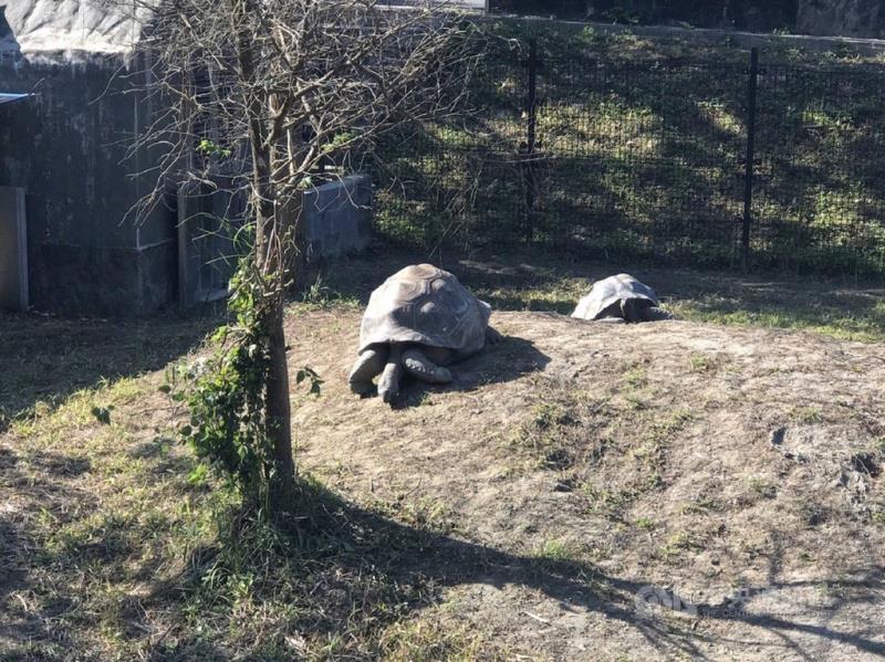 台北市立動物園17日表示,亞達伯拉象龜在兩棲爬蟲館出口處的新活動場有一處寬廣的小丘陵,象龜們天氣好時就會到外面爬山、曬太陽。(台北市立動物園提供)中央社記者陳昱婷傳真 110年2月17日