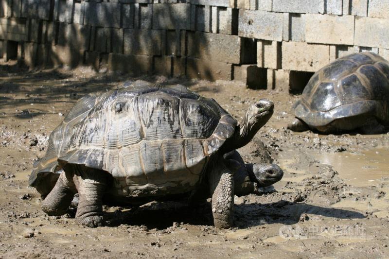 為改善亞達伯拉象龜因腳力差難繁殖的狀況,台北市立動物園提供山坡環境的照養方式,讓牠們多「爬山」,現在象龜們都擁有強壯的腿,能夠完成交配行為。(台北市立動物園提供)中央社記者陳昱婷傳真 110年2月17日