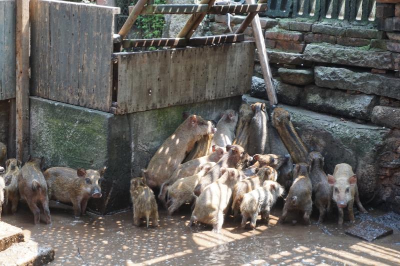 金門單親身障老兵戴克忠以高粱酒糟養豬,他說,比起一般豬肉,山豬肉比較不油膩,微甜有嚼勁,而且絕對不含瘦肉精。他是目前金門唯一的山豬養殖戶。中央社攝  110年9月17日