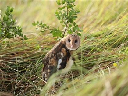 科技部首次為「牠」開專案 珍貴物種草鴞全台不到500隻